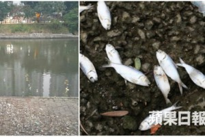 shing_mun_river_dead_fish